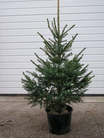 Atemberaubend Picea omorika, Serbische Fichte, Weihnachtsbaumjungpflanzen Picea #US_36