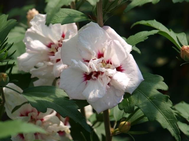 hibiscus syriacus speciosus garteneibisch speciosus. Black Bedroom Furniture Sets. Home Design Ideas