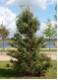 Pinus sylvestris - erdeifenyő - fenyő