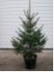 Picea omorika - Serbische Fichte