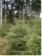 Picea abies - Norvégia luc