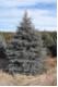 Picea pungens glauca - Blaufichten -Blautannen