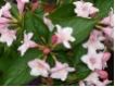 Weigela florida - Weigelie florida