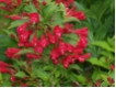 Weigela Red Prince - Weigelie  Red Pince