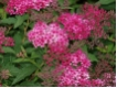 Spiraea japonica Dart`s Red - Rote Sommerspiere Dart`s Red