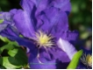 Clematis 'Lady Betty Balfour' - Waldrebe blauviolett