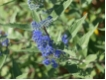 Caryopteris Heavenly Blue - Bartblume