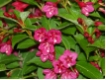 Weigela Bristol Ruby - Weigelie Rot